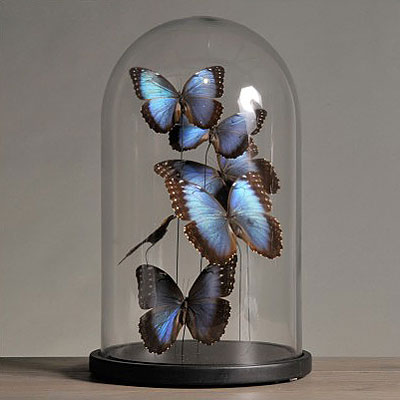 BLUE MORPHOS BUTTERFLIES